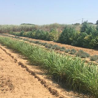 Coltivazioni sulla sabbia in Sicilia
