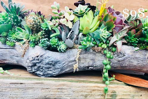 Succulent Birch Log