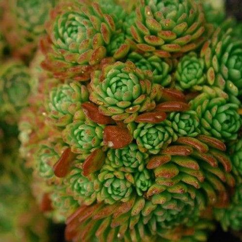 Rosularia Serpentinica
