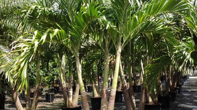 Adonidia Palm Tree