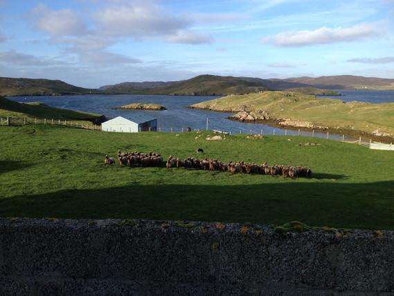 Vehemtry moorit flock-Shetland 2013