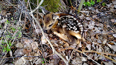 Springtime, Roe deer calf, holiday in Norway, cheap accomodation in Norway, bed and breakfast
