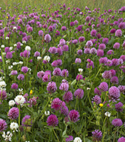 Clover meadow