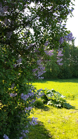 Lilac trees in June