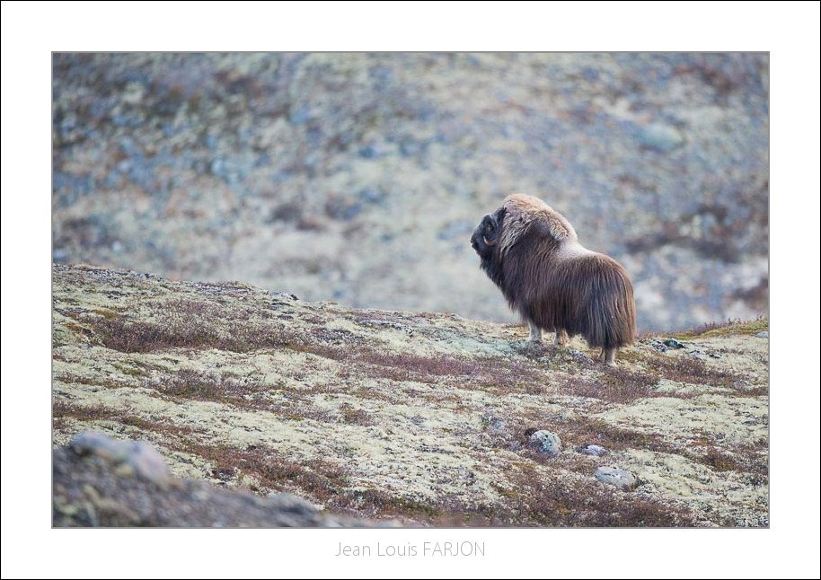 Musk ox at Dovrefjell Mountains