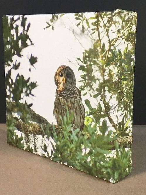 Barred Owl photo canvas print by artist Isaac Jeter
