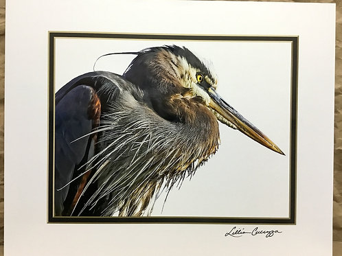 "Great Blue Heron ""Fierce & Focused""photograph by artist Lillian Cucuzza"