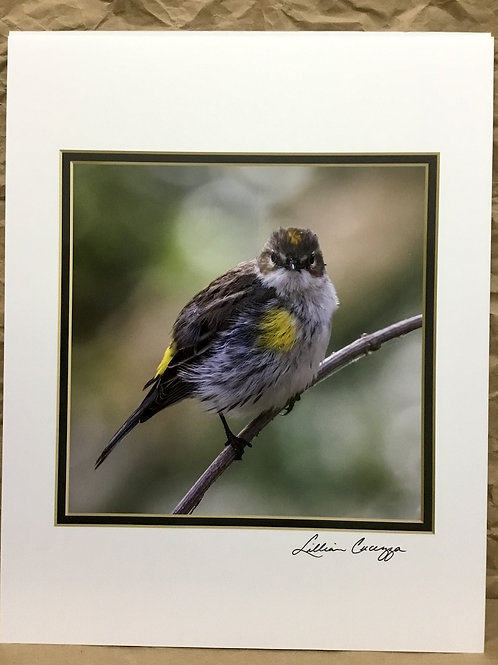 "Yellow-Rumped Warbler ""Fluffy Butter-Butt"" photograph by artist Lillian Cucuzza"