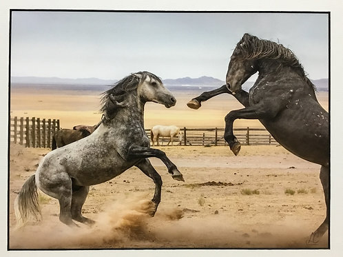 """Stallion Fight at the OK Corral"" photograph by artist Lillian Cucuzza"