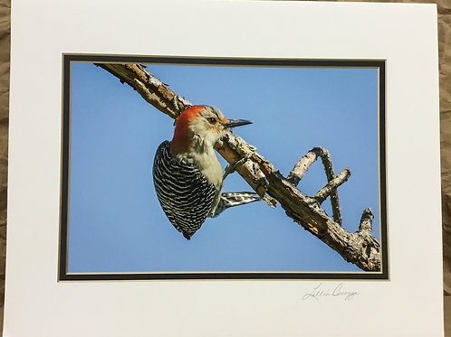 "Red Bellied Woodpecker ""Out on a Limb"" photograph by artist Lillian Cucuzza"