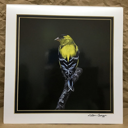 Male American Goldfinch Profile photograph by artist Lillian Cucuzza