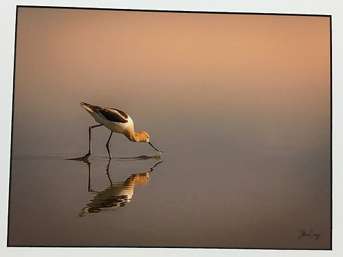 """""""Avocet Dip into the Sunset"""" photograph by artist Lillian Cucuzza"""