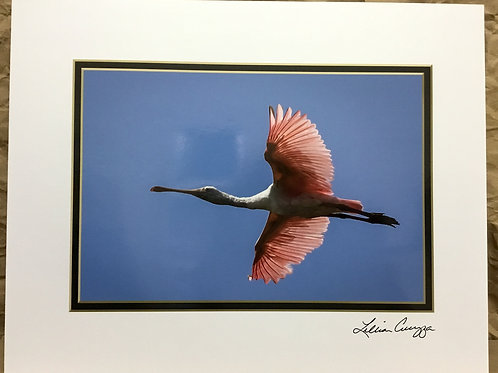 "Roseate Spoonbill ""Flyover"" photograph by artist Lillian Cucuzza"