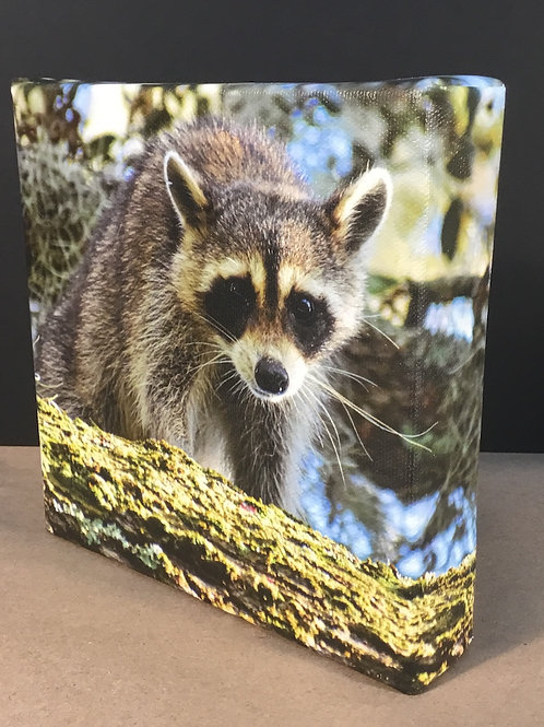 Raccoon photo canvas print by artist Isaac Jeter