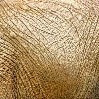 Detritus on Elephant Skin