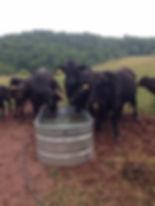 RD Cows Water Trough.jpeg