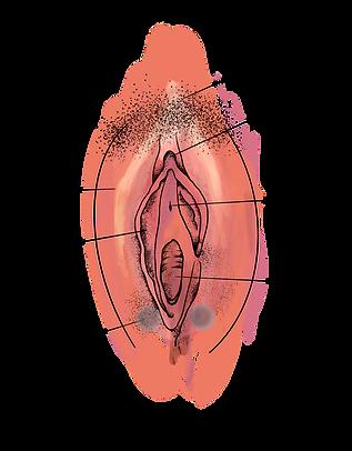 vulva.png