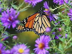 mariposa-monarca_0.jpg