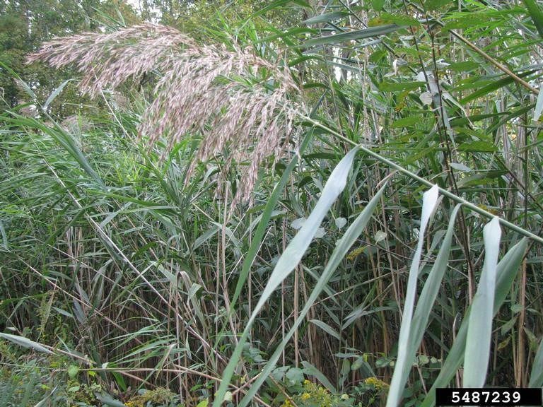 Photo 12. Phragmites or common reed.