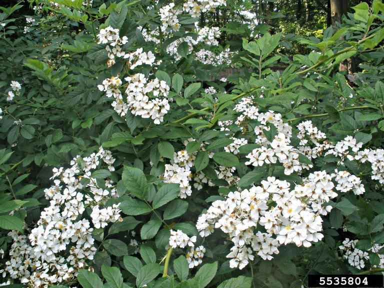 Photo 9. Multiflora rose.