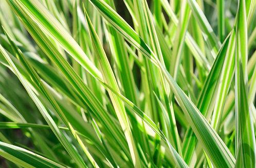IARBA Carex Morrowii - 2L