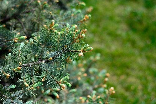 MOLID ALBASTRU - Picea Pungens Seedling