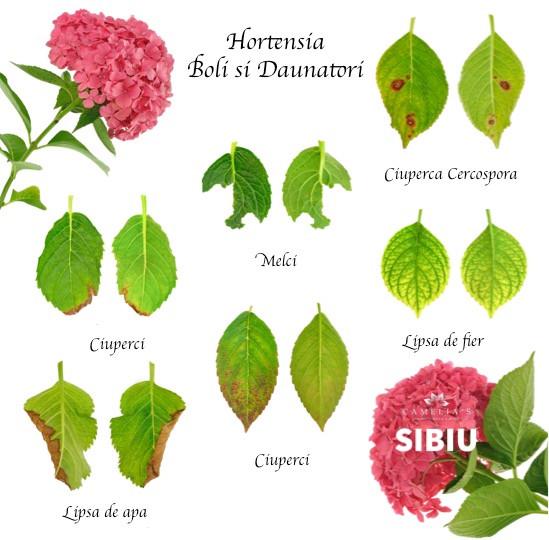 hortensia-boli-daunatori