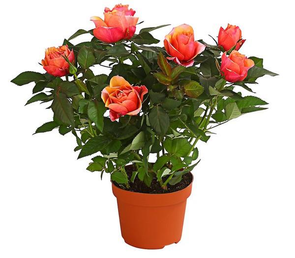 trandafiri-flori-apartament