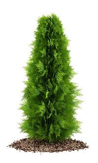 "TUIA SMARAGD - Thuja occidentalis ""Smaragd"""