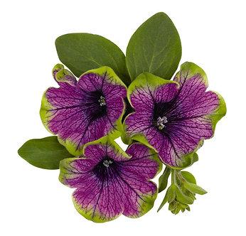 Petunie Sweetunia Green Tomble (CPE007)
