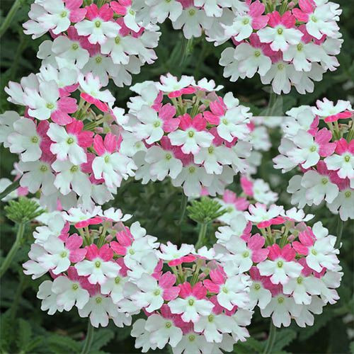 verbinaverbena-curgatoare-alb-roz