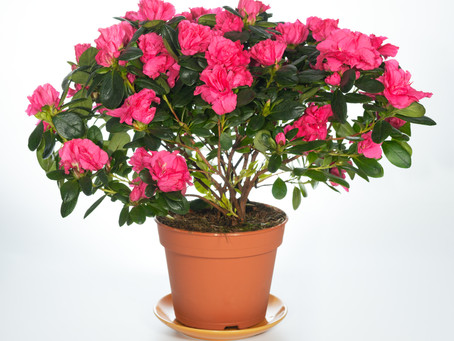 Flori Azalee, Ingrijire, Inmultire - Azalee de gradina sau ghiveci