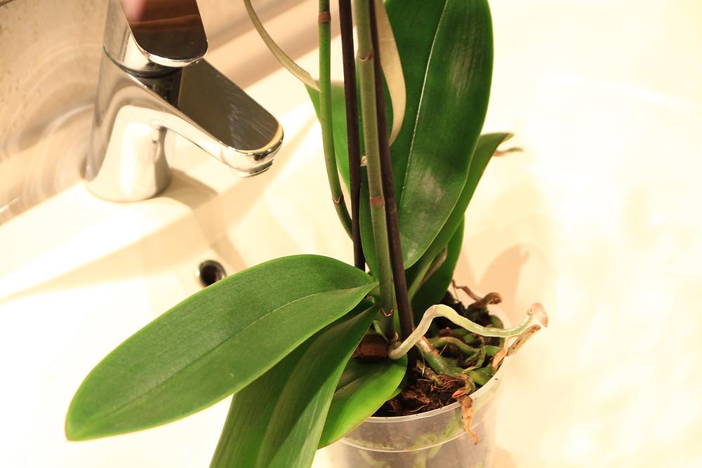 orhidee-phalaenopsis-udare
