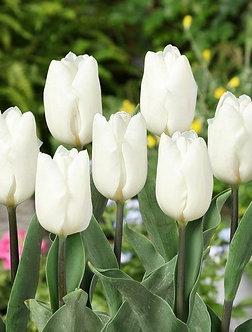LALELE 12+ White Flag - 5 Bulbi