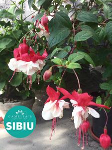 floare-cercelusi-alb-roz