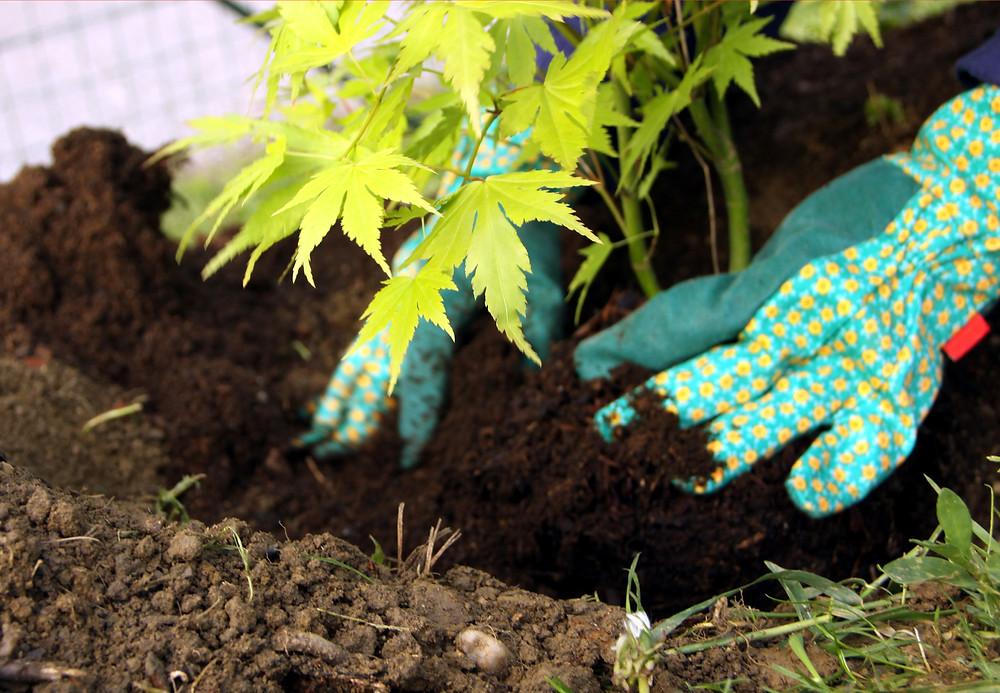 Artar Japonez - Plantare