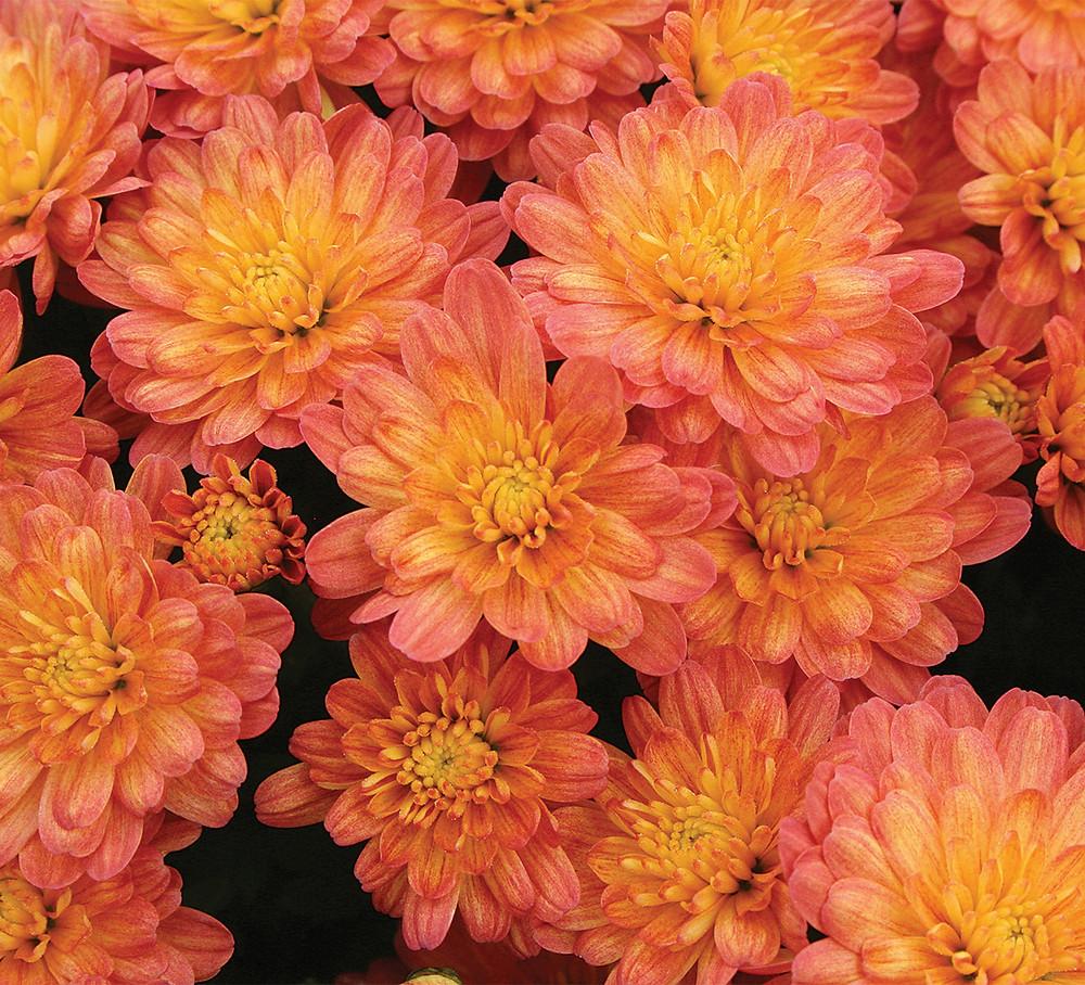 crizanteme-orange