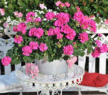 Muscata Cumbanita Rose(SMU002)