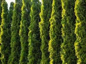 Tuia Smaragd – Crestere, Plantare, Preturi