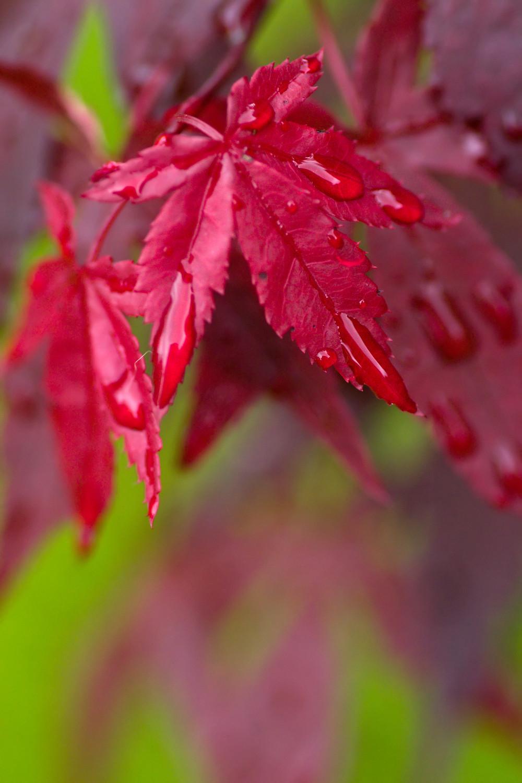 Artar Japonez Rosu - Frunze Palmate
