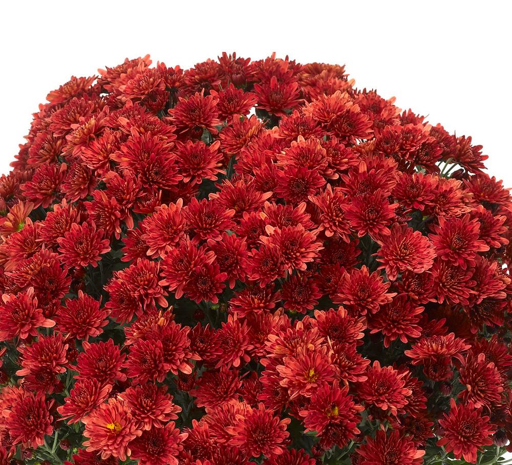 crizanteme-rosu