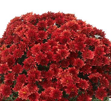 Crizantema - Rosu Branstorm