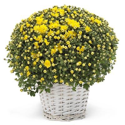 crizanteme-flori-apartament