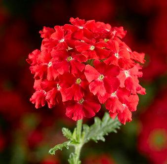 Verbena Endurascape Lava Red (CVE001)