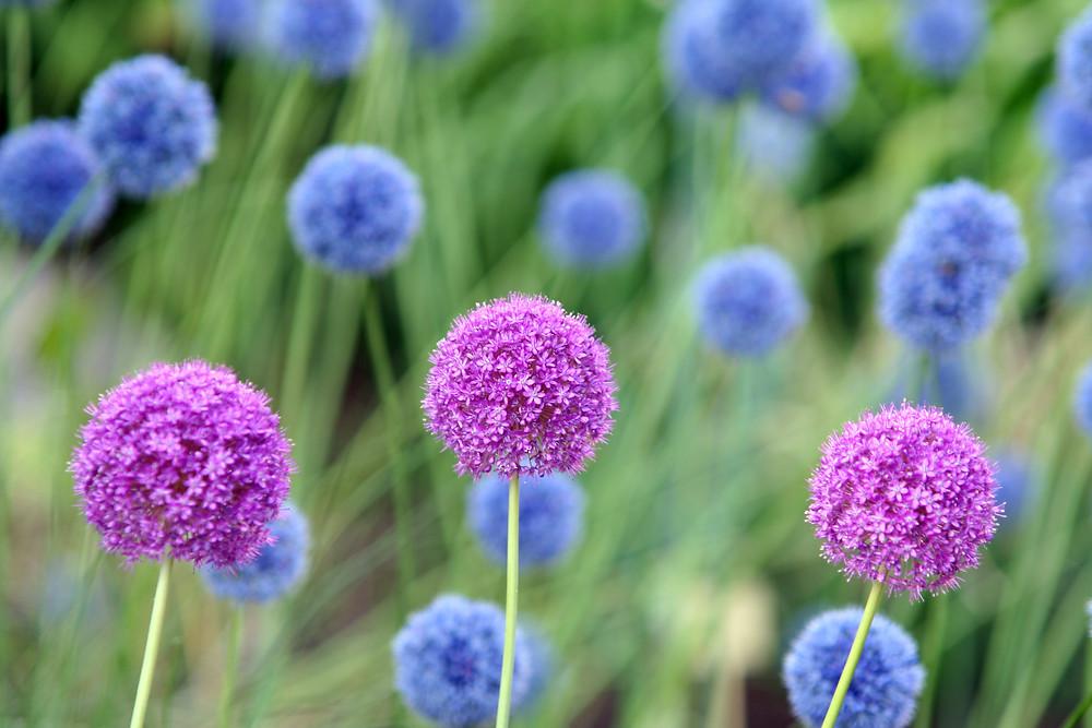 Ceapa-Decorativa-Purple-Sensation