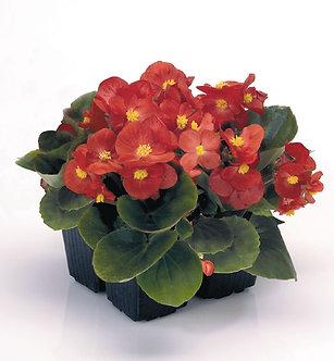 Begonia Semperflorens Scarlet (ZBE002)