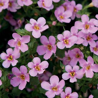 Sutera Scopia Pink Beauty (CSU001)