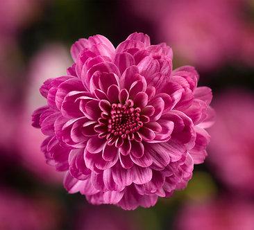 Crizantema - Lila Gigi Dark Pink