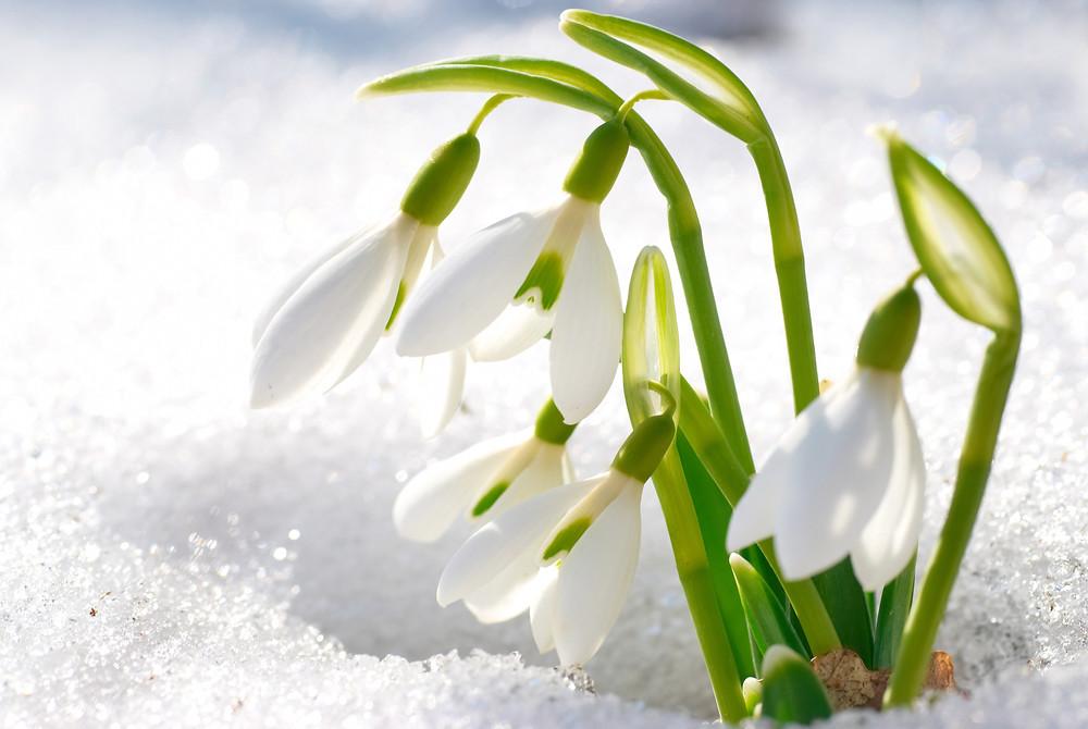 Ghiocei-flori-primavara