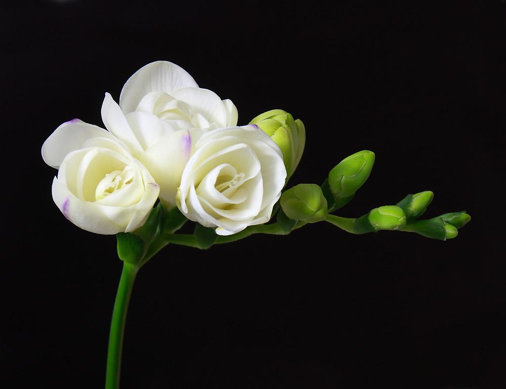 frezie-flori-primavara